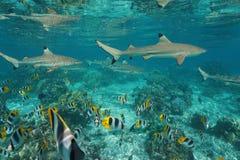 Haifische mit Masse von Fische Unterwasserpazifischem ozean stockfotografie