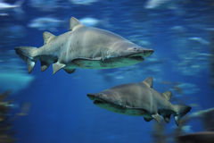 Haifischfische, Stierhaifisch, Marinefisch Unterwasser Lizenzfreie Stockfotos