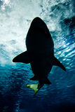 Haifischschattenbild Unterwasser Stockbild