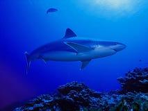 Haifischschwimmen im blauen Wasser Stockbild
