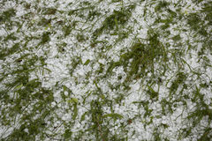 Hail cower green grass Stock Photography