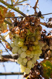 Hail damage on bunch of grape Royalty Free Stock Photos