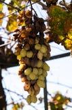 Hail damage on bunch of grape Stock Photos