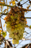 Hail damage on bunch of grape Royalty Free Stock Photography