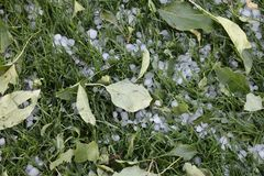 Hail damage. Hail pellets on the grass with shredded leaves. Tree damage resulting from severe weather of hail storm Royalty Free Stock Photo