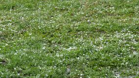 Hail falls on the green grass. Climate change. Small pieces of ice on the ground. Extreme phenomenon heavy rain and hail