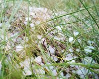 Hail in the grass, green grass covered with hail Royalty Free Stock Image