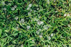 Hail on grass. Ice crystals as a result of hail storm in Argentina royalty free stock photography