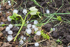 Hail ice balls in vineyard Royalty Free Stock Photos