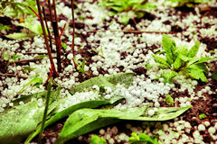 Hail lay on the groun in the summer garden Stock Image