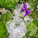 Hail stones on the ground, damaged grass royalty free stock images