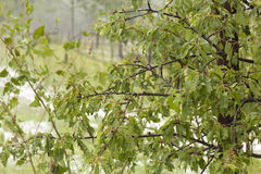 Hail Storm Disaster on fruit tree Royalty Free Stock Photography