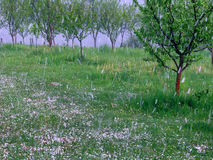 Hail storm in the plum orchard. Disastrous and dark hail storm which destroys the plum orchard-visible hail traces due to longer exposure to convey the strength stock images