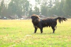 Hailand Psi Patrzejący nadzieję zdjęcia royalty free