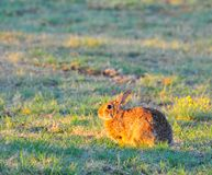 North Texas Eastern Cottontail Rabbit Sylvilagus floridanus. Hailing from the family Leporidae, the primary rabbit in North Texas is the eastern cottontail Royalty Free Stock Images