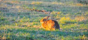 North Texas Eastern Cottontail Rabbit Sylvilagus floridanus. Hailing from the family Leporidae, the primary rabbit in North Texas is the eastern cottontail Stock Image