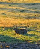 North Texas Eastern Cottontail Rabbit Sylvilagus floridanus stock photo