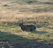North Texas Eastern Cottontail Rabbit Sylvilagus floridanus. Hailing from the family Leporidae, the primary rabbit in North Texas is the eastern cottontail Royalty Free Stock Photos
