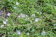 Hailstones on grass in garden Stock Images