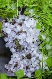 Hailstones on grass in garden Royalty Free Stock Image