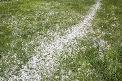 Hailstones on a grass after storm Stock Photo