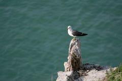 Hailu海岛黑被盯梢的鸥 免版税库存图片