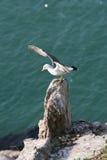 Hailu海岛黑被盯梢的鸥 库存照片