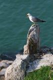 Hailu海岛黑被盯梢的鸥 免版税图库摄影