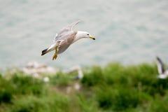 Hailu海岛黑被盯梢的鸥 免版税库存照片