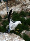 Hailu海岛黑被盯梢的鸥 库存图片