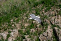 Hailu island black-tailed gulls Royalty Free Stock Image