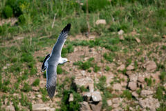 Hailu island black-tailed gulls Stock Photos