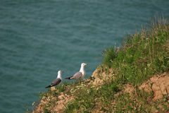 Hailu island black-tailed gulls Royalty Free Stock Photos
