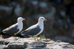 Hailu island black-tailed gulls Stock Image