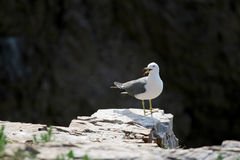 Hailu island black-tailed gulls Royalty Free Stock Photography