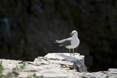 Hailu island black-tailed gulls Royalty Free Stock Photography