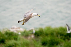 Hailu island black-tailed gulls Royalty Free Stock Photo