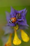 Hain-cow-wheat with ladybugs. Stock Photo