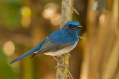 Hainan blåttflugsnappare Fotografering för Bildbyråer