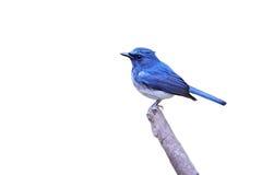 Hainan blauwe vliegenvanger Stock Afbeeldingen