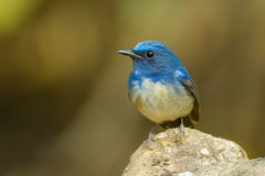 Hainan Blue Flycatcher Royalty Free Stock Photo