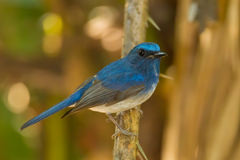 Hainan Blue Flycatcher Stock Image