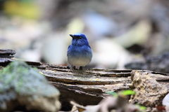 Hainan blue flycatcher Stock Photo