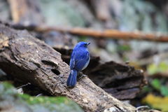 Hainan blue flycatcher Royalty Free Stock Photography