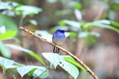 Hainan blue flycatcher Stock Photo