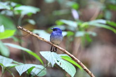 Hainan blue flycatcher Royalty Free Stock Photos