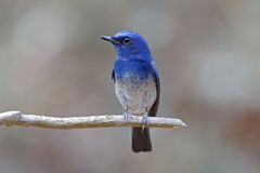 Hainan Blue Flycatcher Cyornis hainanus Male Birds of Thailand Stock Photography