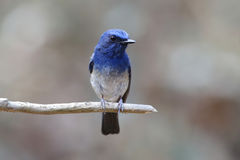 Hainan Blue Flycatcher Cyornis hainanus Male Cute Birds of Thailand Stock Images