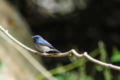 Hainan blue flycatcher (Cyornis hainanus) in nature Stock Photography