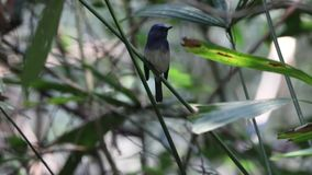 Hainan Blue Flycatcher Singing. Hainan blue flycatcher, Cyornis hainanus, is sitting on tree branch and singing at Khao Yai National Park in Thailand stock video footage